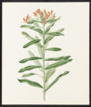 Asclepias tuberosa, L.